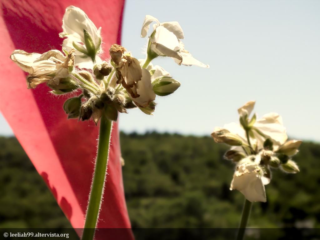 Il geranio salvato © leeliah99.altervista.org