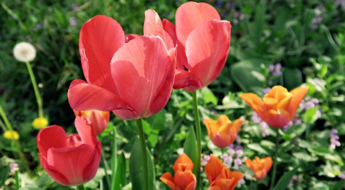 Tulipani al Parco di San Giovanni © leeliah99.altervista.org