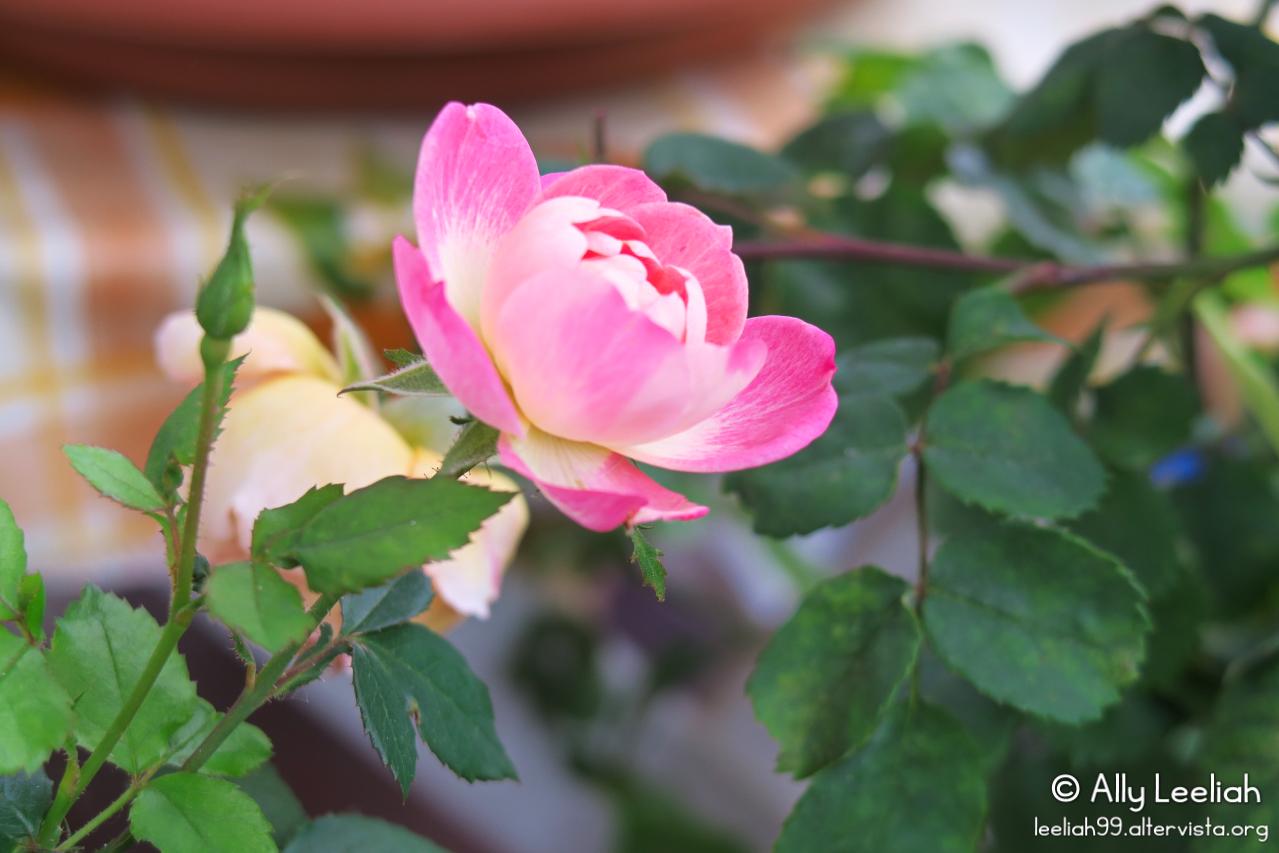 Rosellina nata da un semino di un cinorrodo raccolto nel Parco di San Giovanni © leeliah99.altervista.org