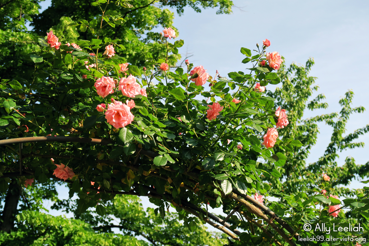 Le rose a maggio nel Parco di San Giovanni a Trieste © leeliah99.altervista.org