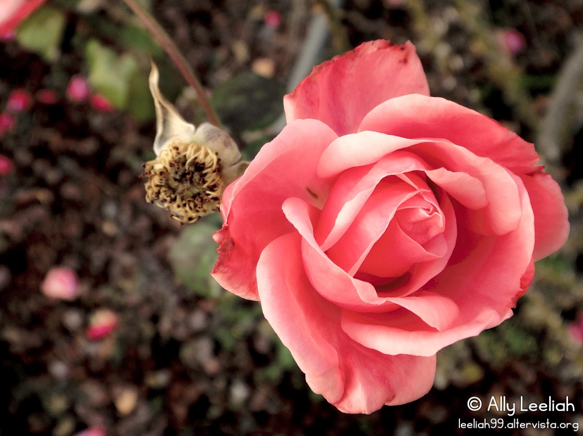 Rose nel Parco di San Giovanni © leeliah99.altervista.org