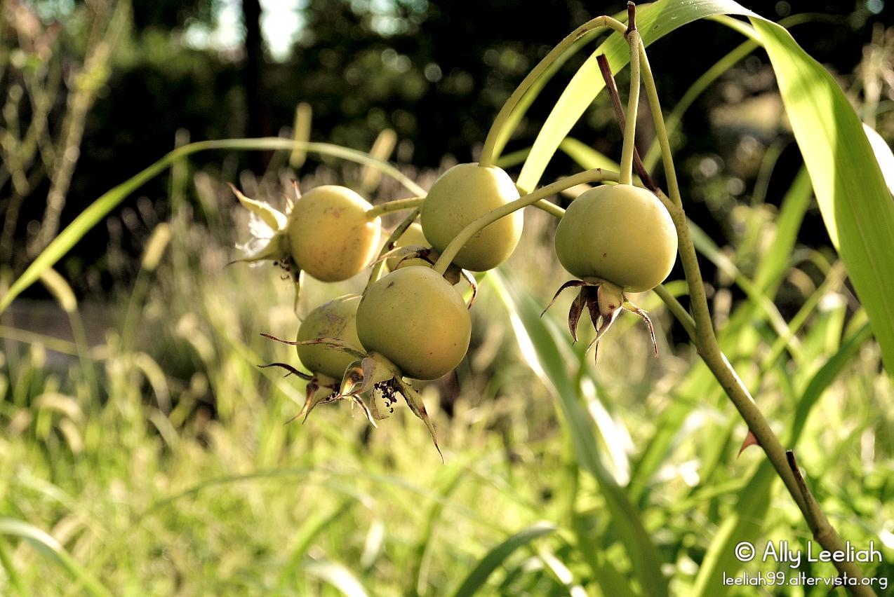 Cinorrodi nel Parco di San Giovanni © leeliah99.altervista.org