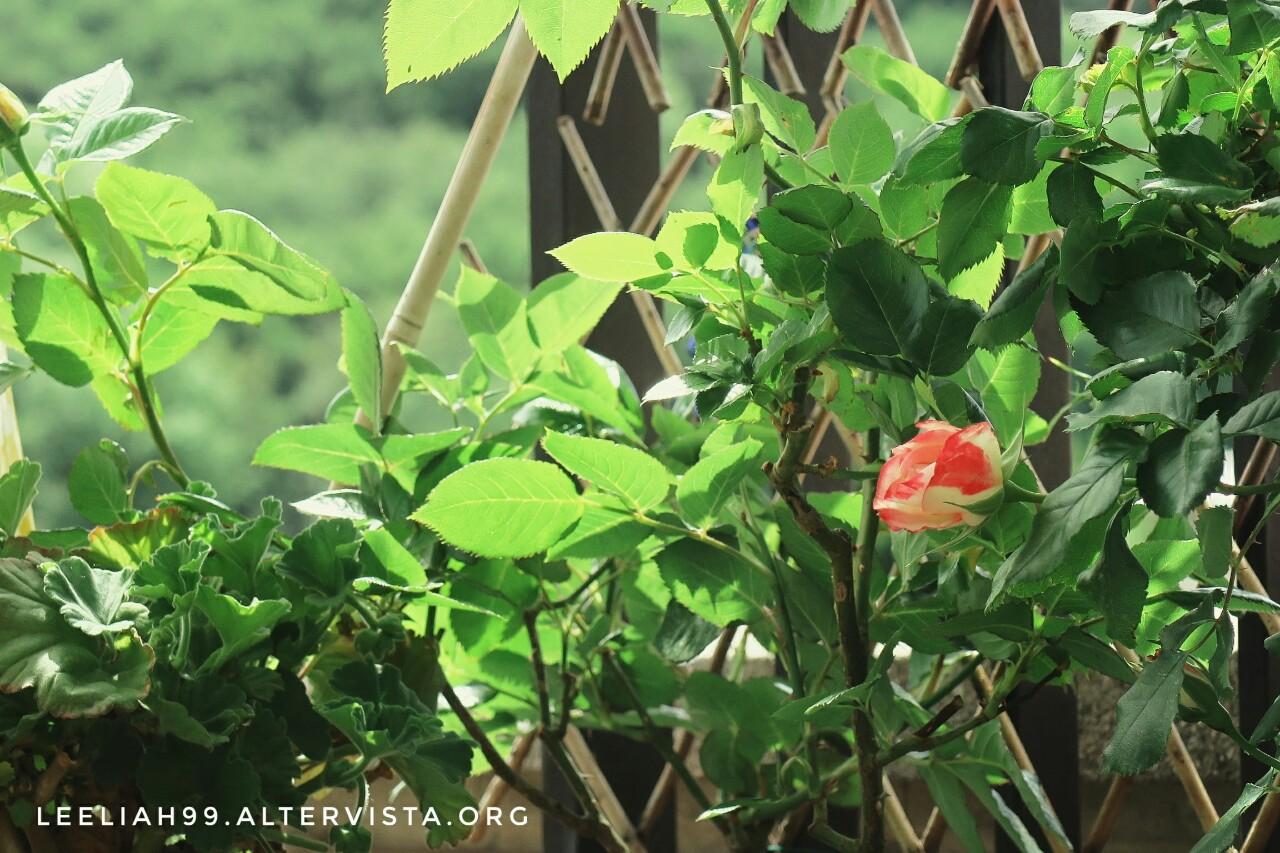 Il primo bocciolo della rosa Jubilé du Prince de Monaco sul terrazzo © leeliah99.altervista.org