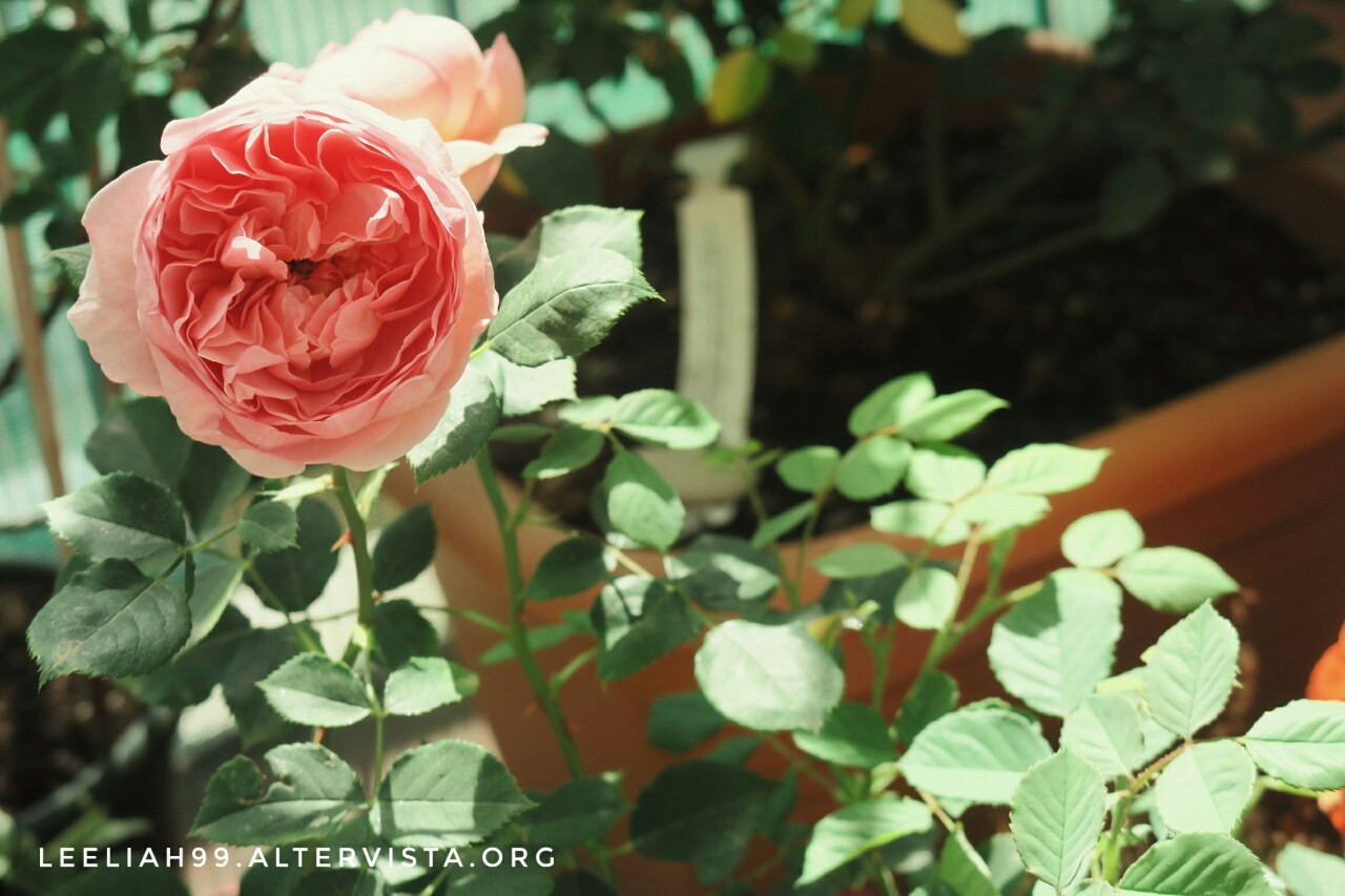 La rosa Boscobel sul terrazzo © leeliah99.altervista.org