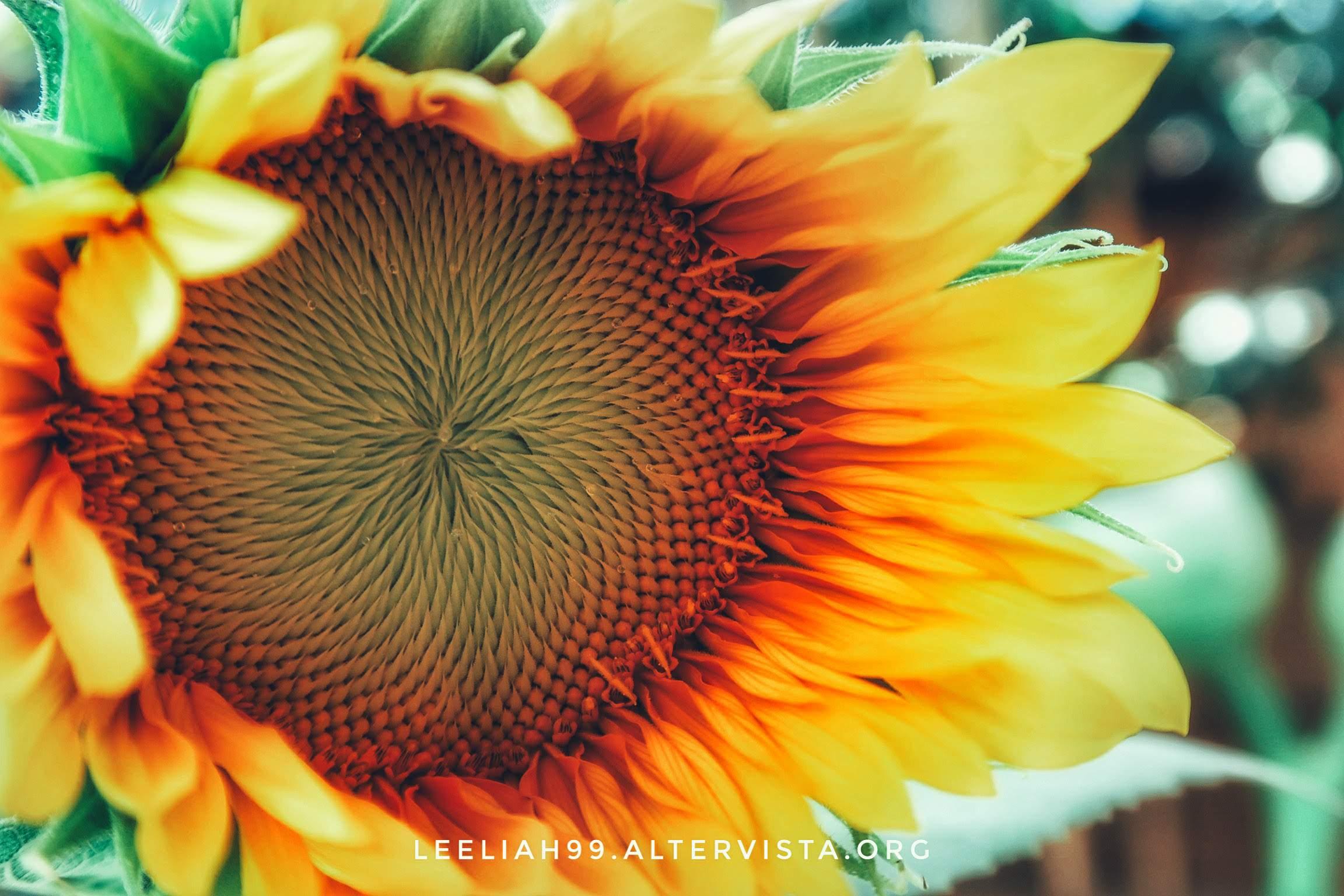 Girasole a sorpresa sul terrazzo © leeliah99.altervista.org