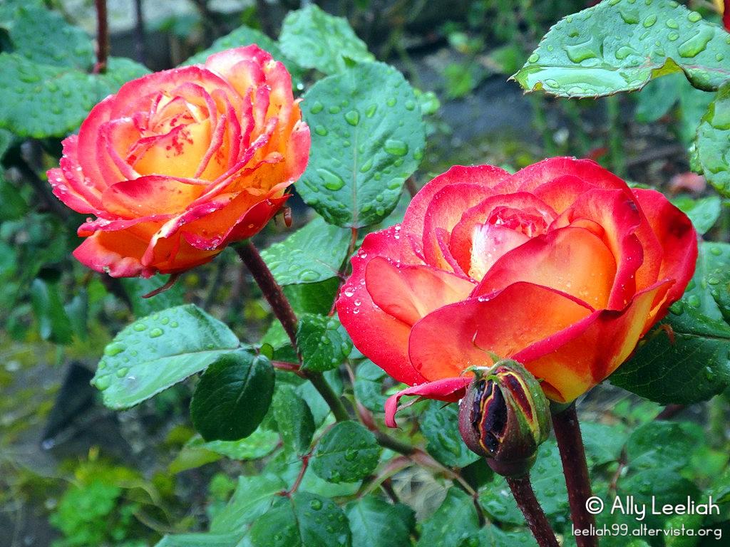 La rosa Chivalry nel roseto del Parco di San Giovanni © leeliah99.altervista.org