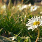 Margherite nel Parco di San Giovanni a Trieste © leeliah99.altervista.org