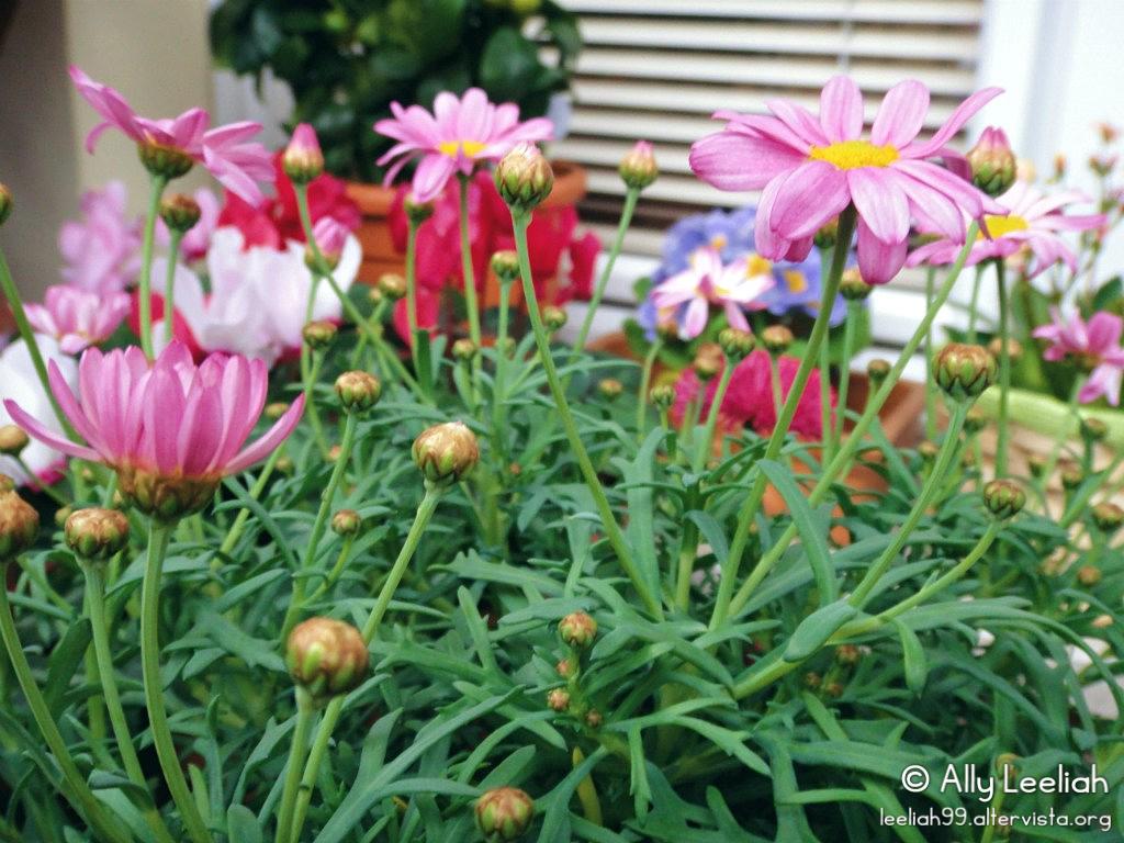 Margheritine colorate sul terrazzo © leeliah99.altervista.org