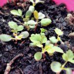 Primavera sul terrazzo: i primi germogli dai cinorrodi di rose © leeliah99.altervista.org