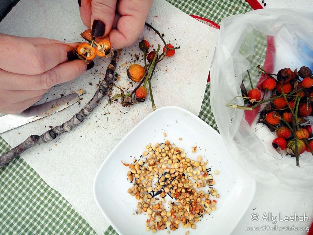 Primavera sul terrazzo: estrazione dei semini dai cinorrodi © leeliah99.altervista.org