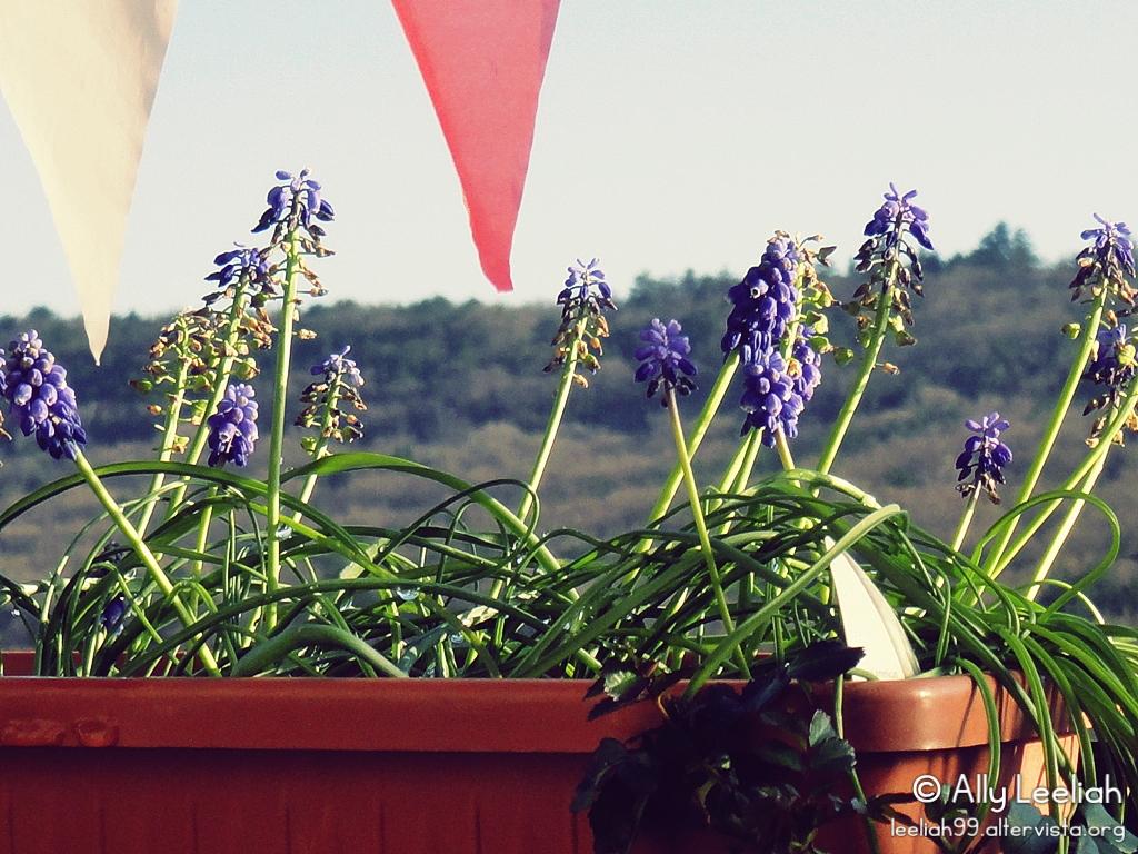 Primavera sul terrazzo: muscari © leeliah99.altervista.org