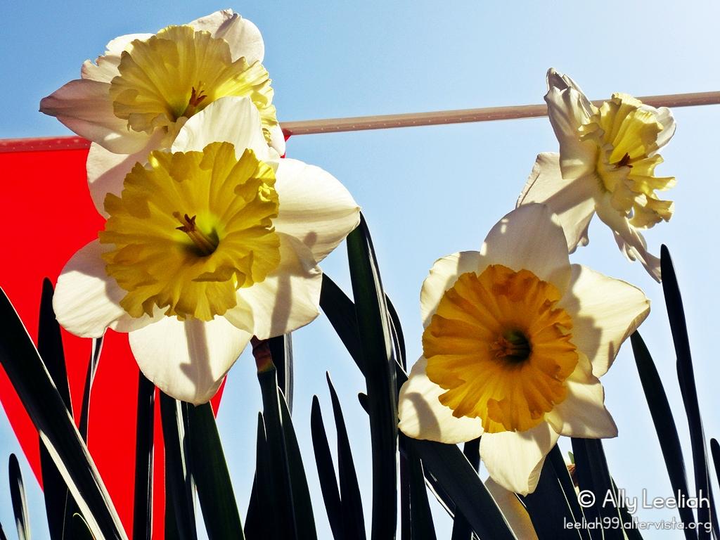 Primavera sul terrazzo: narcisi © leeliah99.altervista.org