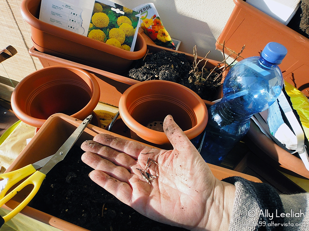 Primavera sul terrazzo: piantiamo i semi di tagete © leeliah99.altervista.org