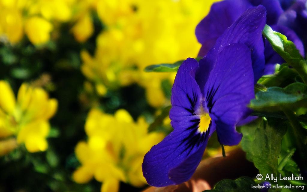Primavera sul terrazzo: viole © leeliah99.altervista.org