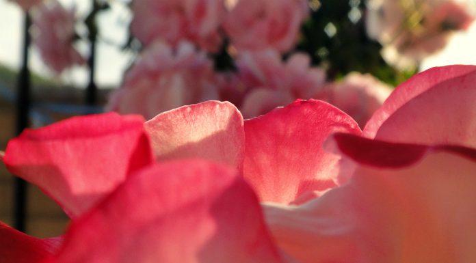 Rose sul terrazzo © leeliah99.altervista.org